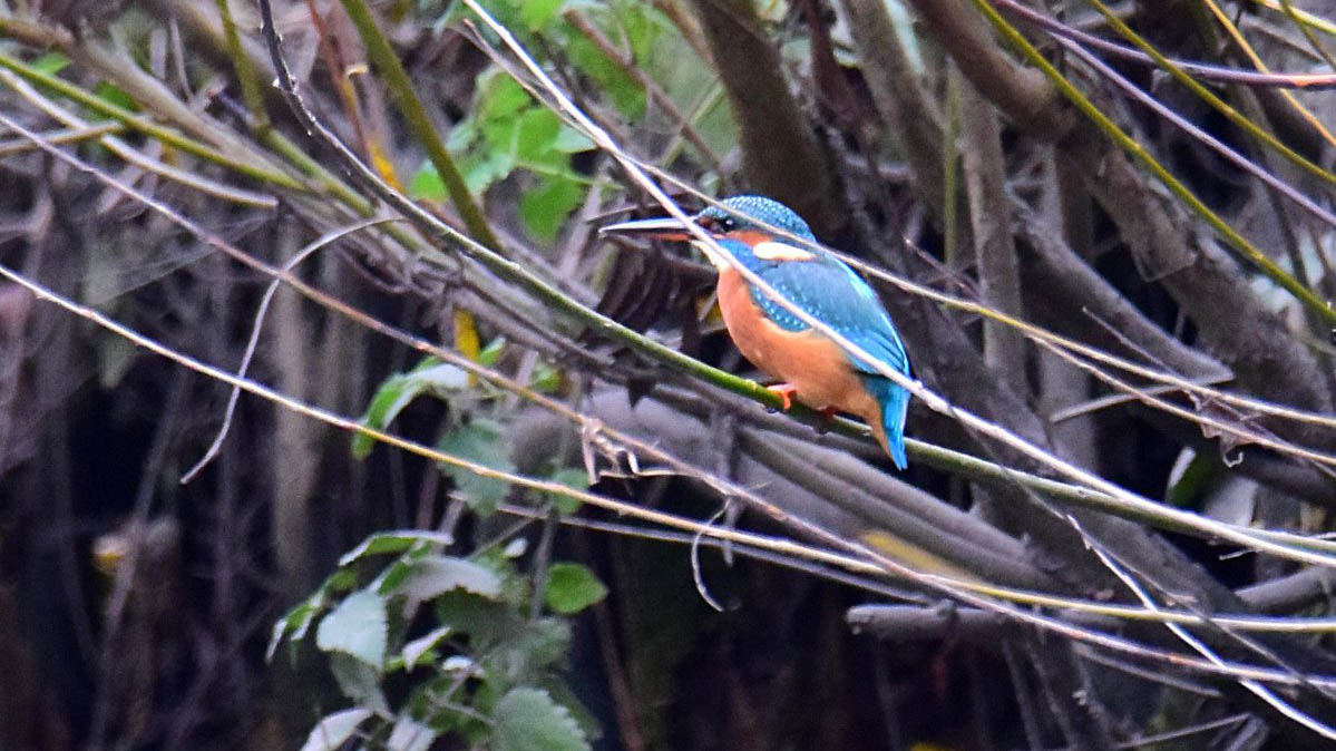Kingfisher are unmistakeable