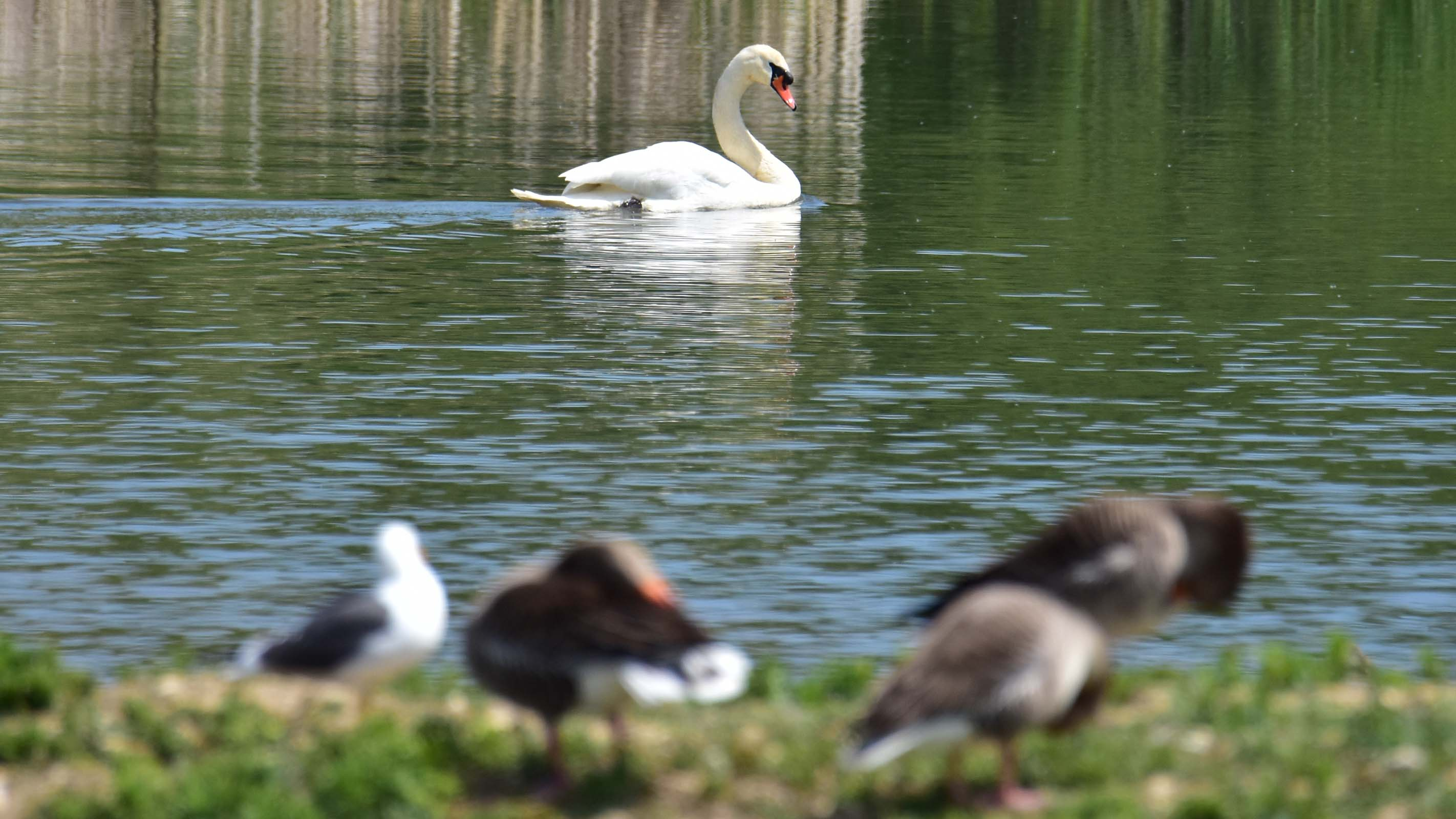 Water Birds at College Lake, Tring Reservoirs Buckinghamshire