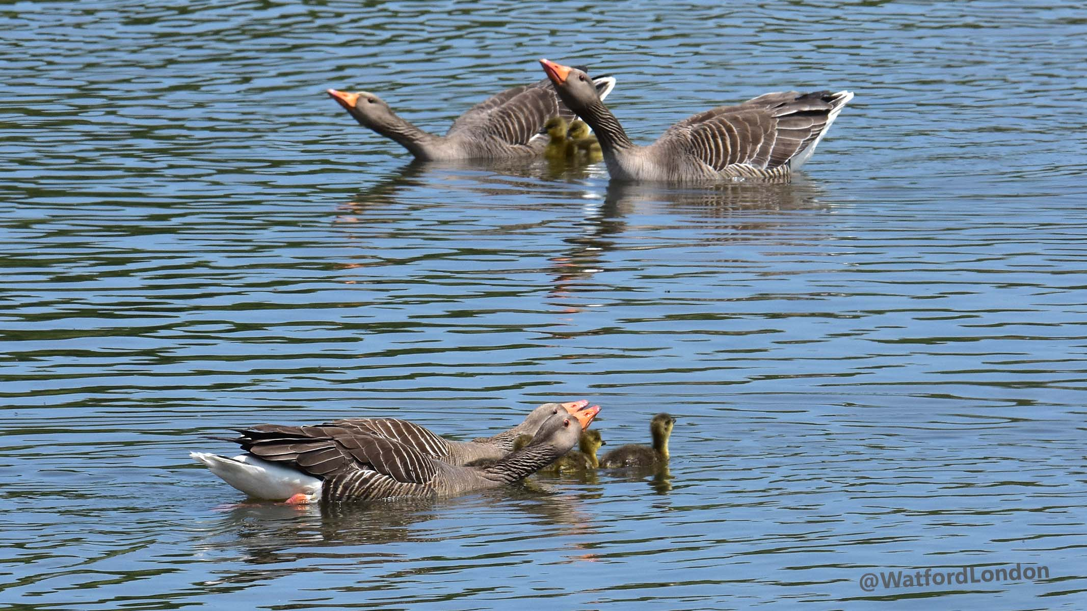 Graylag Geese and their young chicks