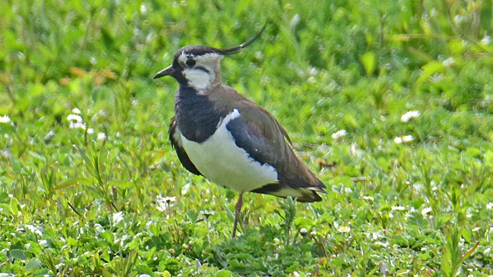 Lapwings are unmistakeable
