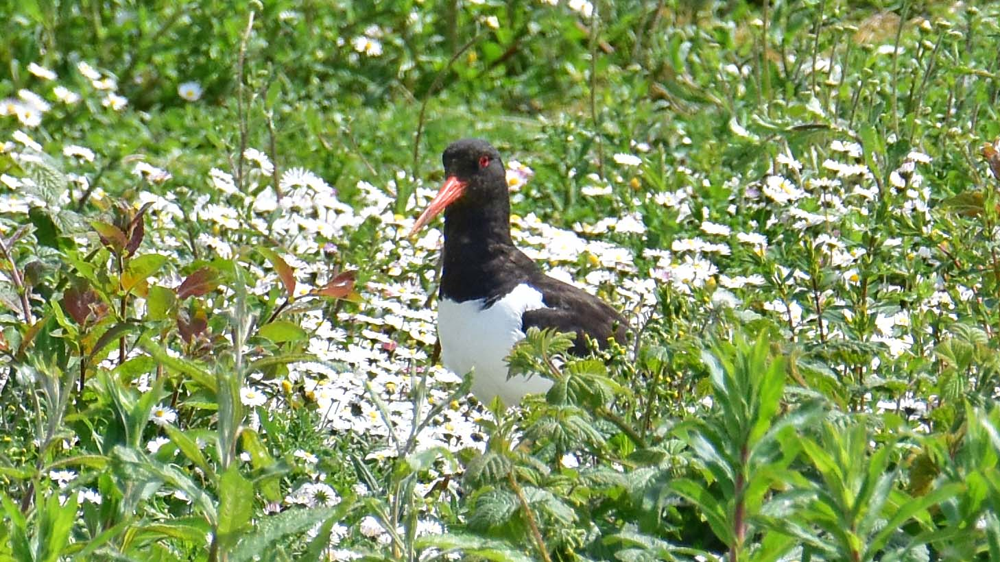 Oyster Catcher Tring