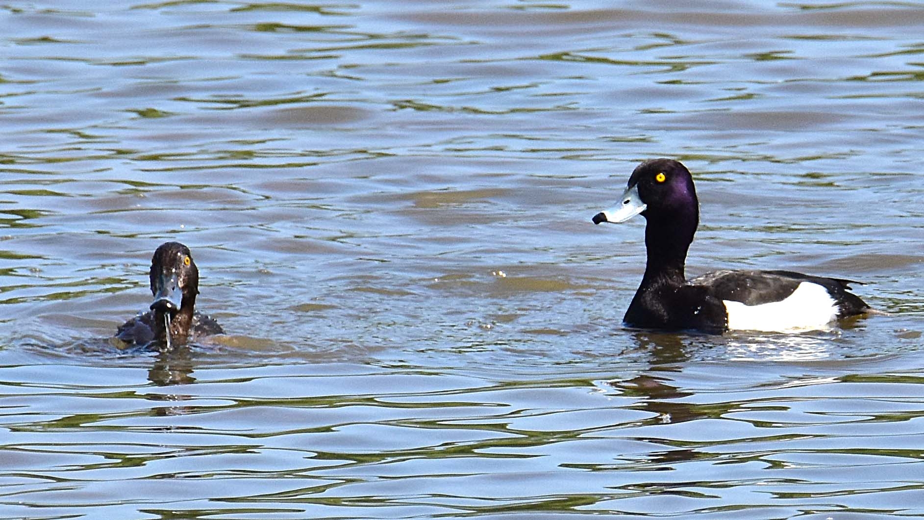 Tufted duck Tring