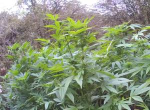 Police have Discovered a Cannabis Plantation in Hertfordshire